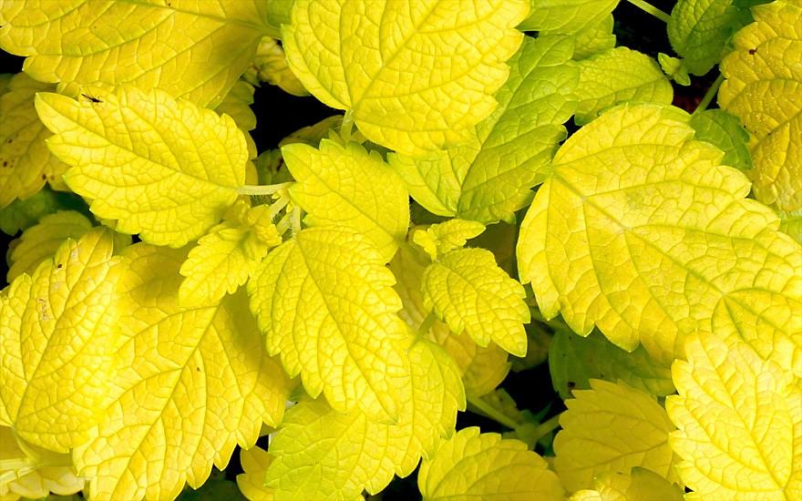 Zitronenmelisse 'Aurea' (Pflanze)