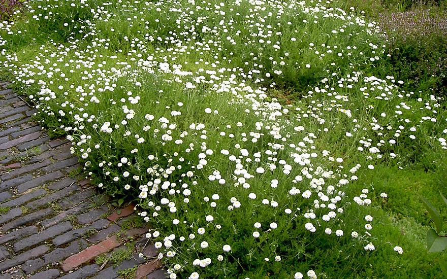 Römische Rasenkamille (Pflanze)