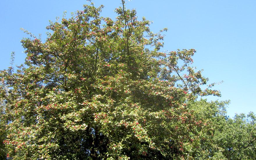Weißdorn (Pflanze)