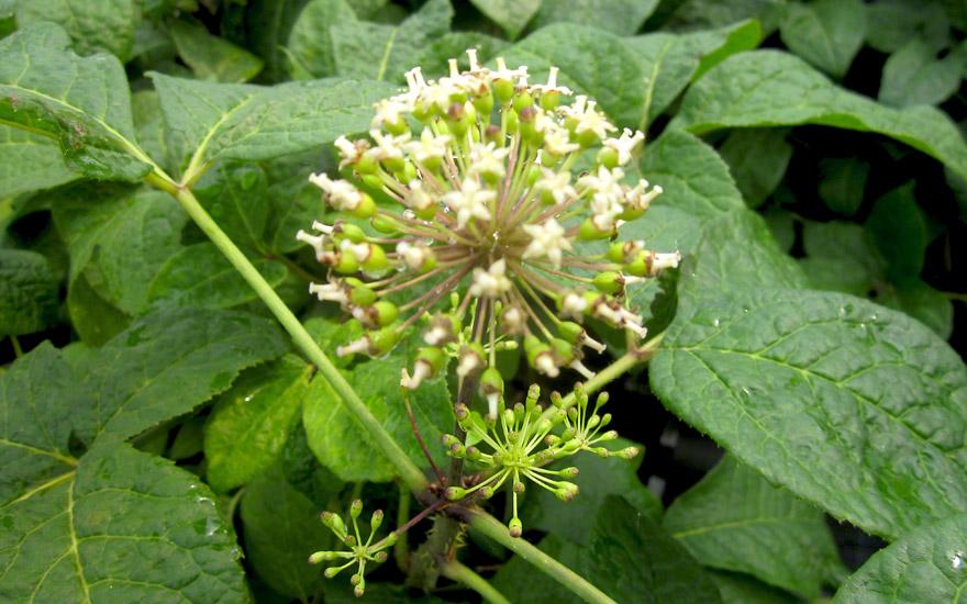 Sibirischer Ginseng (Pflanze)