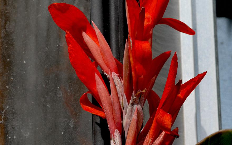 Australische Canna (Pflanze)