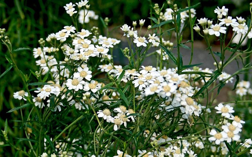 Sumpfschafgarbe (Pflanze)