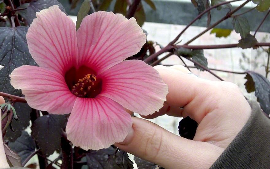 Roter Hibiskus (Pflanze)