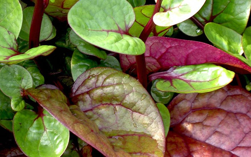 Ceylon-Spinat (Saatgut)