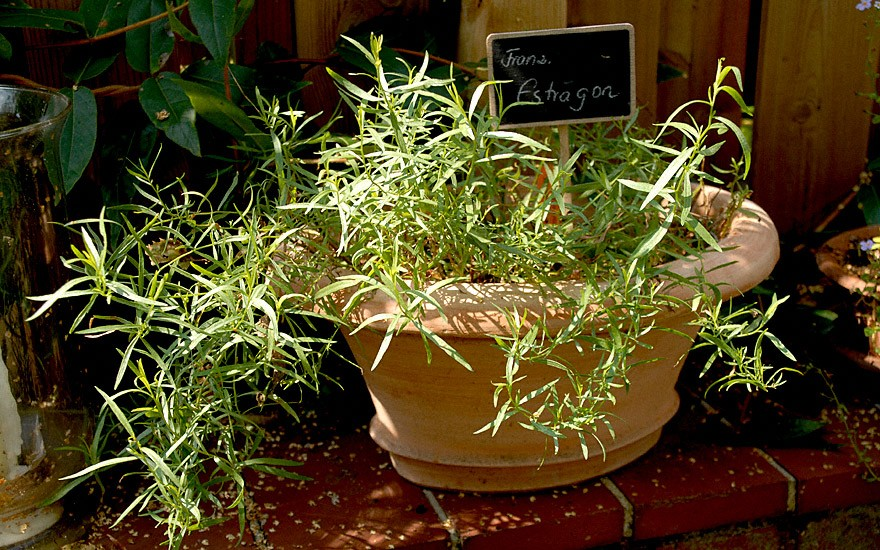 Französischer Estragon (Pflanze)