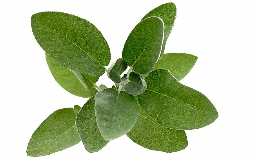 Blatt-Salbei (Pflanze)