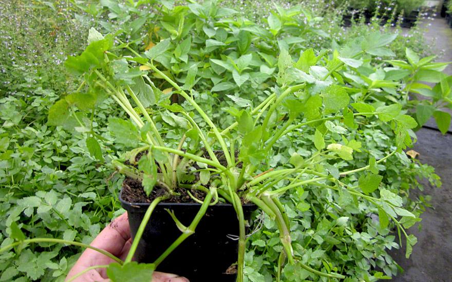 sedanina pflanze apium nodiflorum helosciadum nodiflorum salatkr uter essbare pflanzen. Black Bedroom Furniture Sets. Home Design Ideas