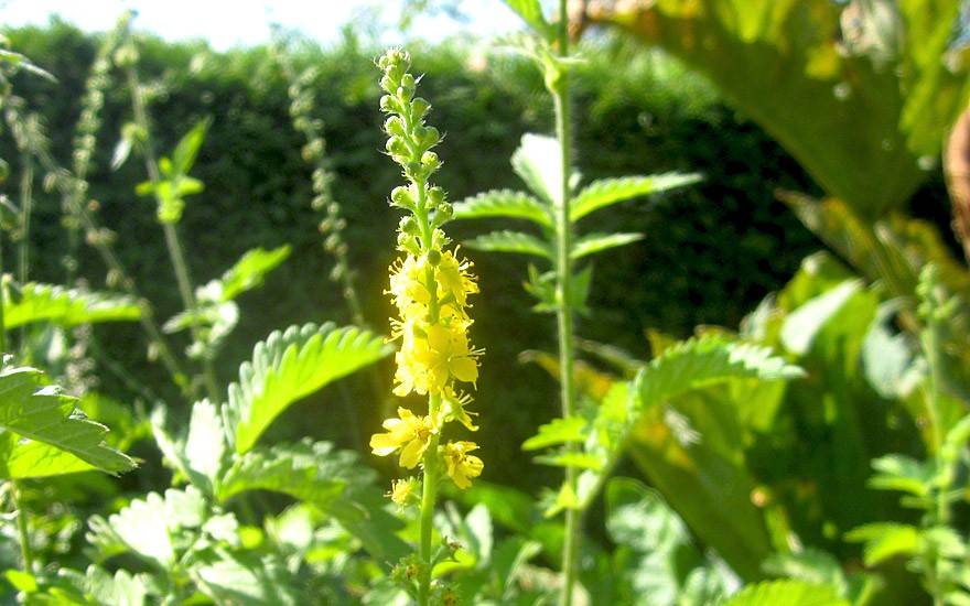 Wohlriechender Odermennig (Pflanze)
