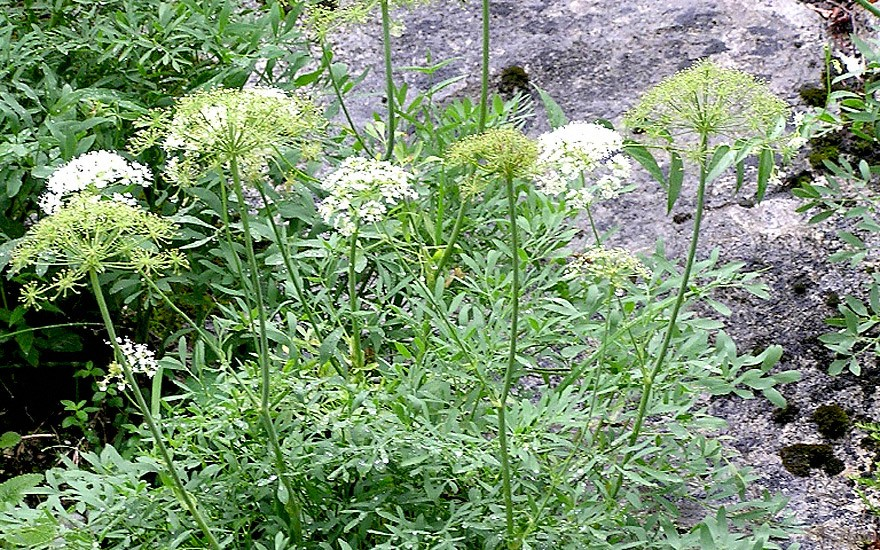 Bergkümmel (Pflanze)