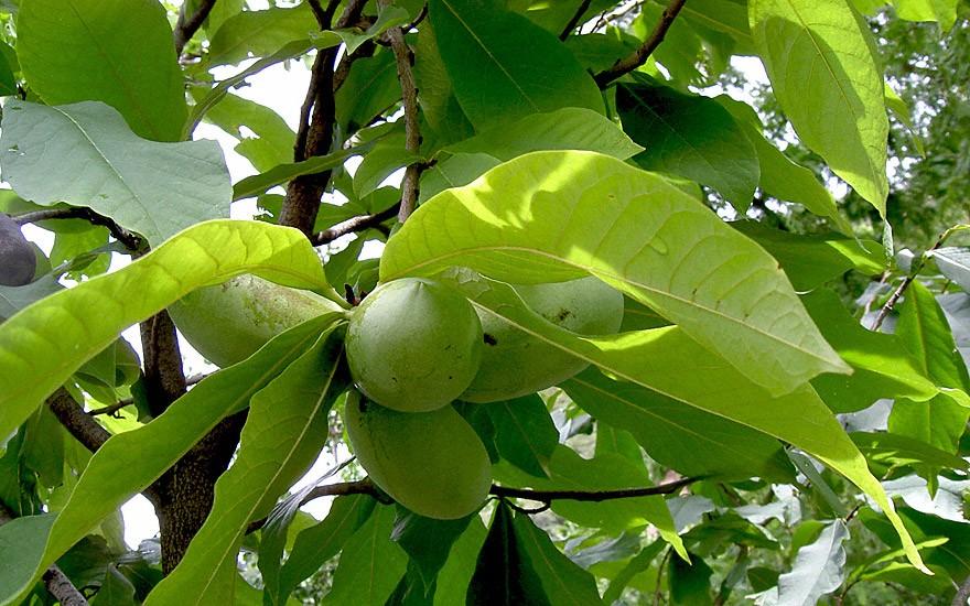 Paw-Paw 'Prima 1216' (Pflanze)