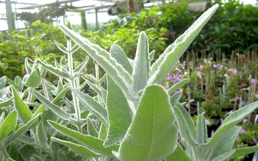 Kanarischer Salbei, wollig (Pflanze)