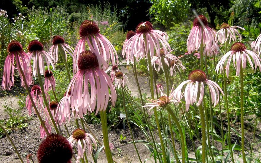 Echinacea, schmalblättrig (Saatgut)