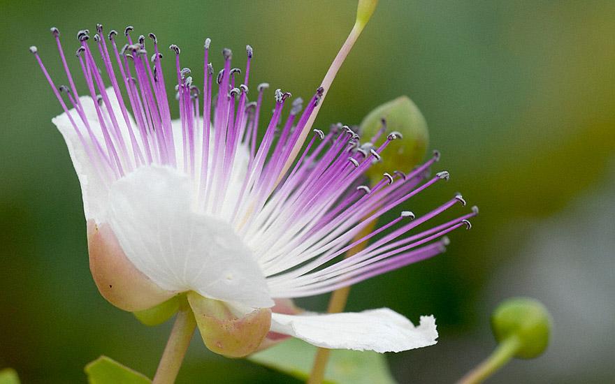 Kapernstrauch (Pflanze)