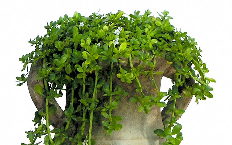 Brahmi Pflanze B Einzelsorten Babantsi Bruchkraut Pflanzen