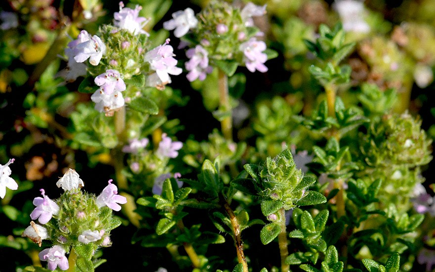 Lavendelthymian (Pflanze)