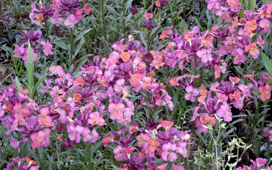 Duft-Goldlack 'Rufus' (Pflanze)