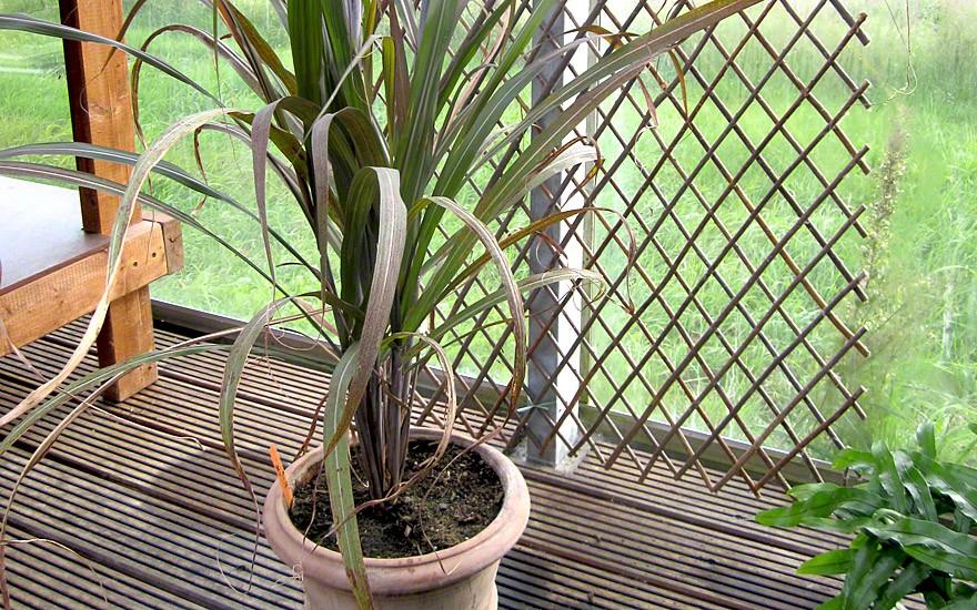 Zuckerrohr, rotblättrig (Pflanze)