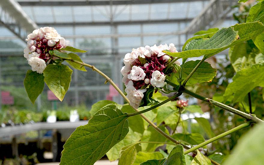Chinesische Ruhmesblume (Pflanze)