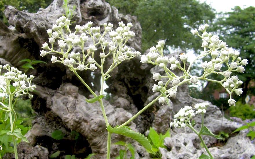 Wildes Chinin (Pflanze)