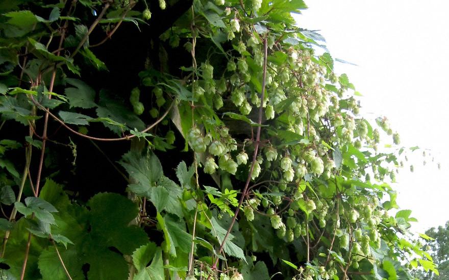 Bierhopfen 'Tettnanger' (Pflanze)