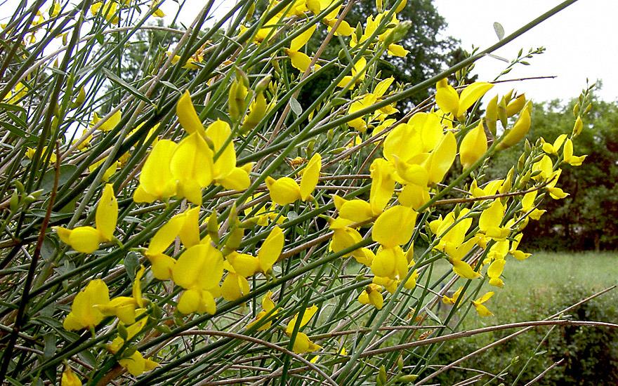 Spanischer Ginster (Pflanze)