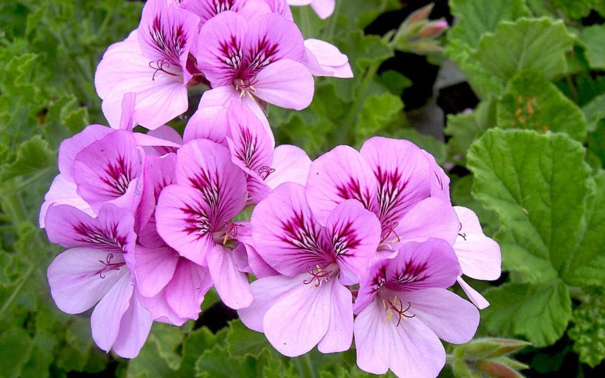 Duftgeranie 'Purple Unique' (Pflanze)