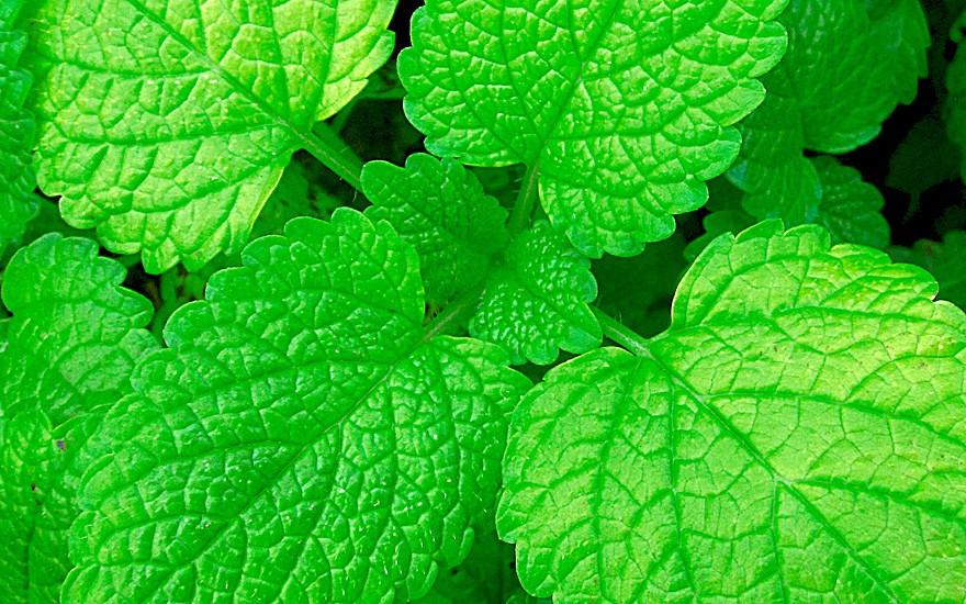Limonen-Melisse (Pflanze)
