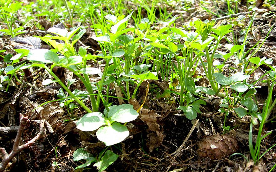 Wildkresse (Pflanze)