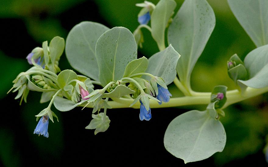 Austernpflanze (Pflanze)