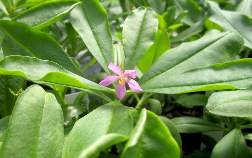 Wasserblatt (Pflanze)