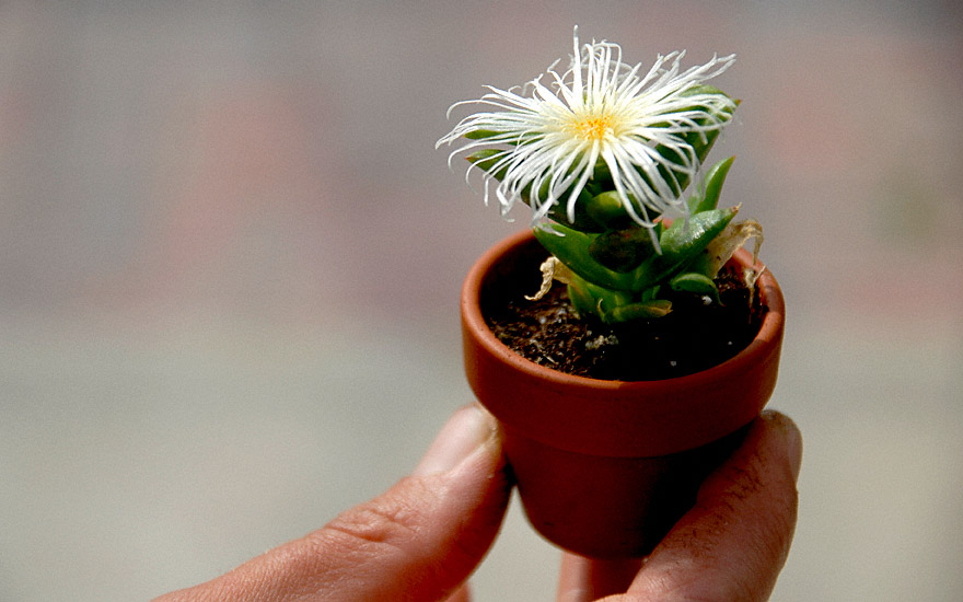 Kanna (Kougoed) (Pflanze)