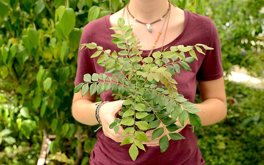 Indisches Curryblatt 'Gamthi' (Pflanze)