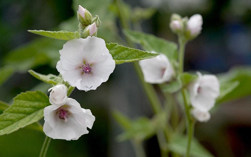 Eibisch (Pflanze)