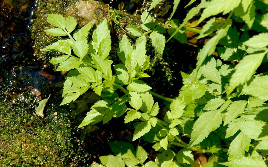 Wasserfenchel, vietnamesisch (Pflanze)