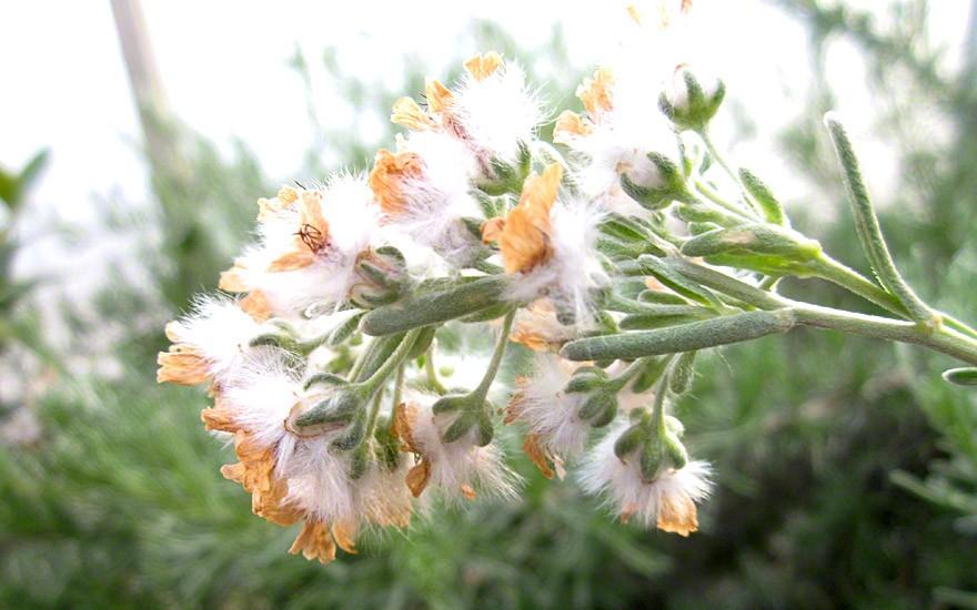 nach der Blüte wollige Samenstände