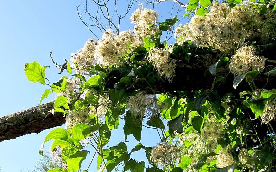 Echte Waldrebe (Pflanze)