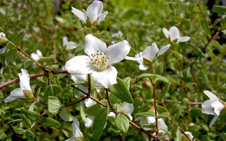 Pfeifenstrauch, kleinblättrig (Pflanze)