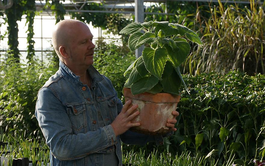 Australisches Zitronenblatt (Pflanze) - Plectranthus