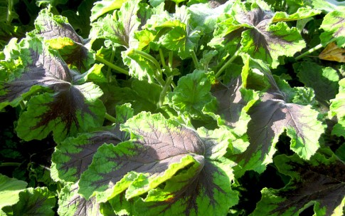 Duftgeranie 'Chocolate Peppermint' (Pflanze)