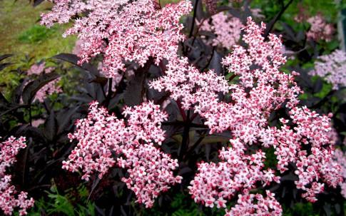 Holunder 'Black Beauty' (Pflanze)