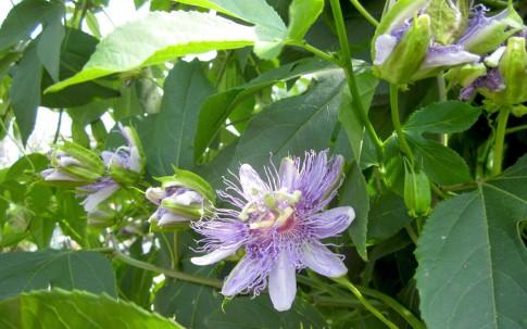 Passionsblume, heilend (Pflanze)