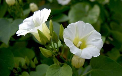 Ololiuqui (Pflanze)