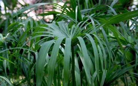 Nagarmotha-Gras (Pflanze)