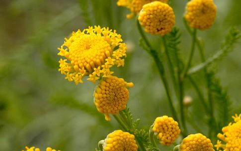 Zypressenkraut, grau (Pflanze)
