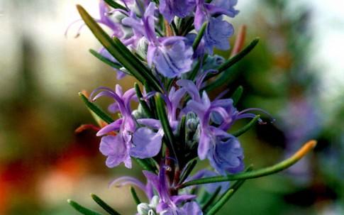 Rosmarin 'Gorizia' (Pflanze)