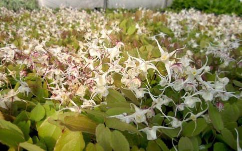 Ziegenkraut (Pflanze)