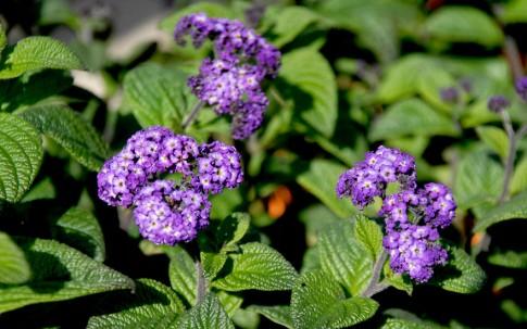 Heliotrop 'Sally Reath' (Pflanze)
