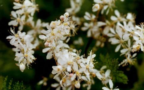 Knolliges Mädesüß (Pflanze)