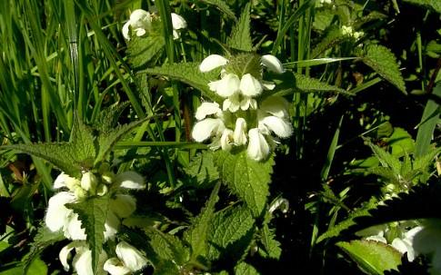 Weiße Taubnessel (Pflanze)