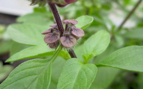 Thai-Basilikum 'Purple Stem' (Horapha) (Saatgut)